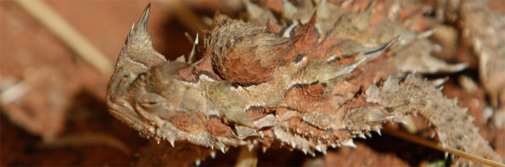 About Central Australia - Thorny devil - lives in central Australia